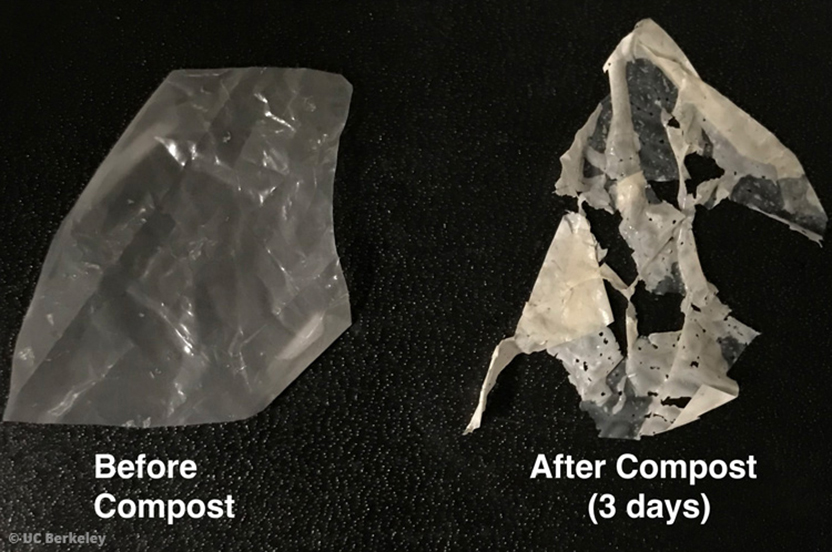 Compostable plastic (right) containing polyester-eating enzymes before (left) and after (right) 3 days in compost. © UC Berkeley