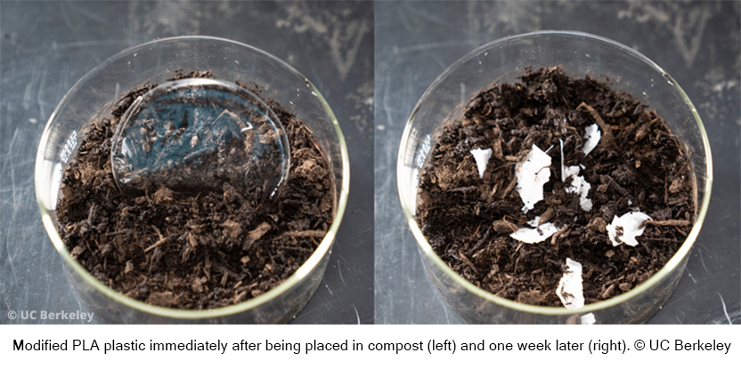 Modified PLA plastic immediately after being placed in compost (left) and one week later (right). © UC Berkeley